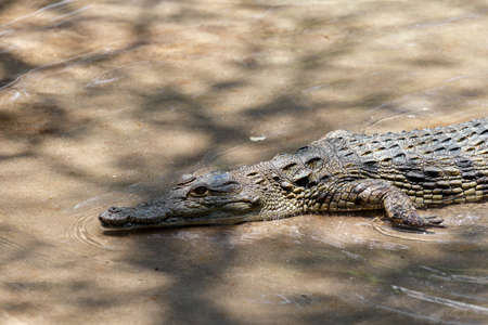 niloticus: Portrait of a Nile Crocodile Crocodylus niloticus, Victoria Falls Stock Photo