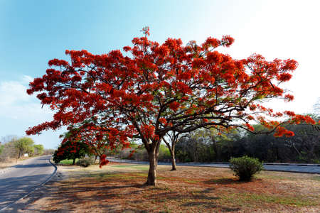 Delonix Regia (Flamboyant) tree with blue sky and road