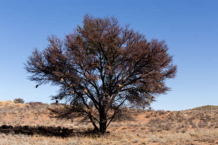 kgalagadi: landscape with tree in Kgalagadi transfontier park, South, Africa, true wildlife