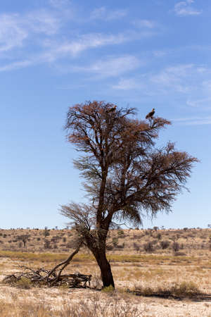 kgalagadi: Lonely dead tree with eagle landscape in kgalagadi transfontier park