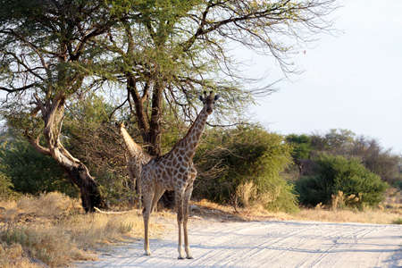 camelopardalis: majestic Giraffa camelopardalis in national park on road, Hwankee, Botswana