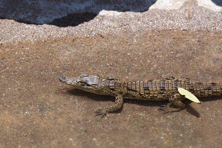 crocodylus: small baby of a Nile Crocodile Crocodylus niloticus, Victoria Falls Stock Photo