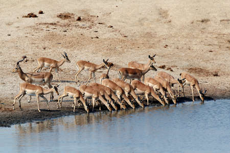 faced: drinking herd of impala in Hwankee national park, Botswana Stock Photo