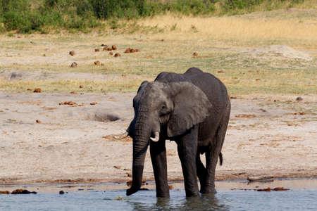 at waterhole: manada de elefantes africanos bebiendo en una charca fangosa, Botswana, hwankee. La verdadera vida al aire libre