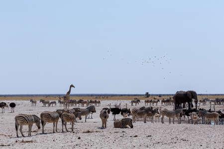 springbok: Crowded waterhole with Elephants, zebras, springbok and orix. Etosha national Park, Ombika, Kunene, Namibia. True wildlife photography Stock Photo