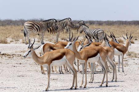 springbok: herd of springbok and zebra in Etosha national park, Namibia