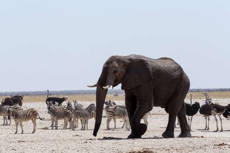 thirsty bird: Crowded waterhole with Elephants, zebras, springbok and orix. Etosha national Park, Ombika, Kunene, Namibia. True wildlife photography Stock Photo