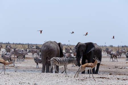 pozo de agua: Charca llena de elefantes, cebras, gacelas y orix. Etosha National Park, Ombika, Kunene, Namibia. La verdadera vida al aire libre Foto de archivo