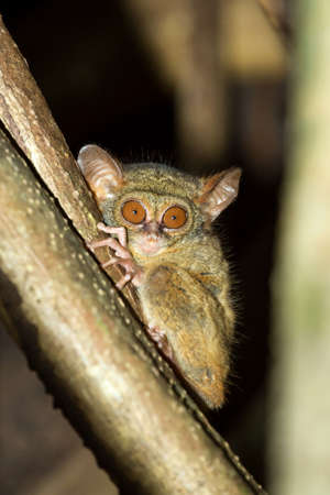 smallest: very rare Spectral Tarsier, Tarsius spectrum,Tangkoko National Park, Sulawesi, Indonesia, the worlds smallest primate, true wildlife Stock Photo