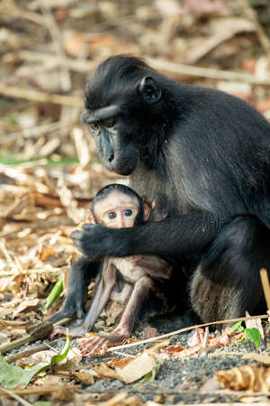 celebes: portrait of  Ape Monkey Celebes with small baby Sulawesi crested black macaque, Takngkoko National park, Sulawesi, Indonesia Stock Photo