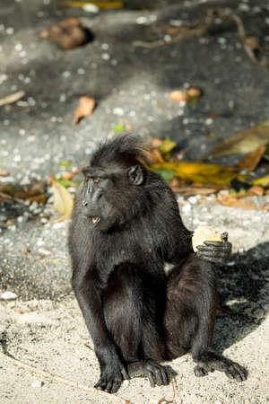 sulawesi: Portrait of  Ape Monkey Celebes Sulawesi crested black macaque, Takngkoko National park, Sulawesi, Indonesia
