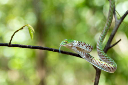 slither: Oriental Whipsnake or Asian Vine Snake (Ahaetulla prasina) Tangkoko National Park. Sulawesi, Indonesia, Wildlife Stock Photo