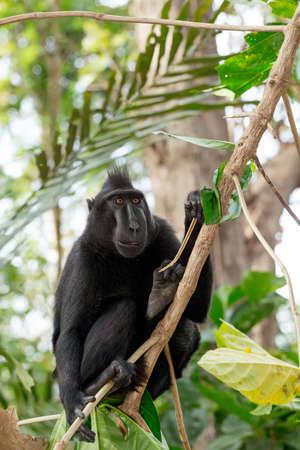 celebes: Ape Monkey Celebes Sulawesi crested black macaque, Takngkoko National park, Sulawesi, Indonesia