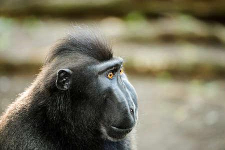 celebes: Portrait of  Ape Monkey Celebes Sulawesi crested black macaque, Takngkoko National park, Sulawesi, Indonesia