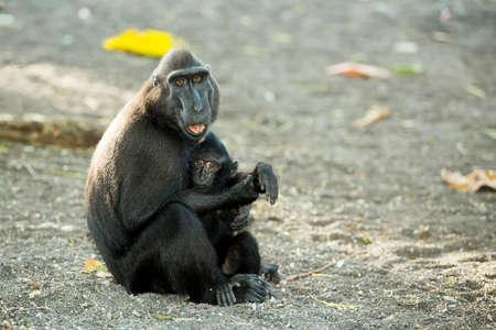 celebes: Portrait of  Ape Monkey Celebes with small baby Sulawesi crested black macaque, Takngkoko National park, Sulawesi, Indonesia
