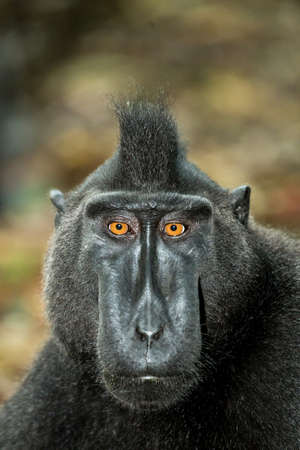 sulawesi: portrait of  Ape Monkey Celebes Sulawesi crested black macaque, Takngkoko National park, Sulawesi, Indonesia Stock Photo