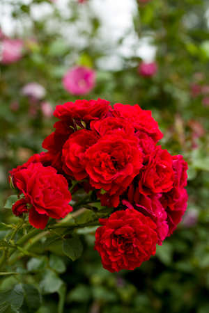romatic: beautiful red roses in garden, romatic love background, shallow focus