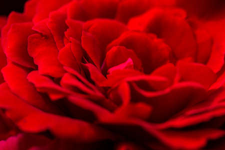 romatic: beautiful red roses macro outdoor shoot, for romatic love background, shallow focus