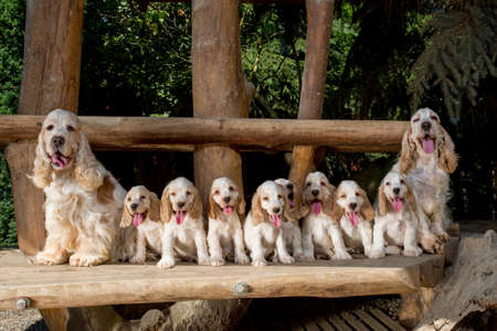 cute puppies: family of English Cocker Spaniel with small puppy, outdoor in sunny day