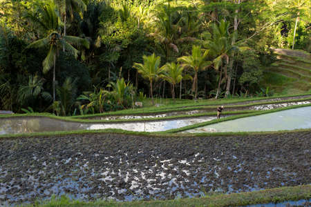 indonesia culture: beautiful Rice terraced paddy fields in Gunung Kawi Bali, Indonesia