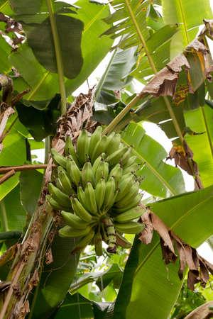 close up of unripe bananas on the tree, Bali, Indonesia, Nusa Penida Banco de Imagens