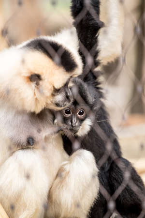 caged: Yellow-cheeked gibbon (Nomascus gabriellae)with baby caged, sad looking baby through fence Stock Photo