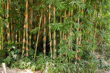nusa: detail of Many of the early bamboo trees, Nusa Penida, Bali, Indonesia