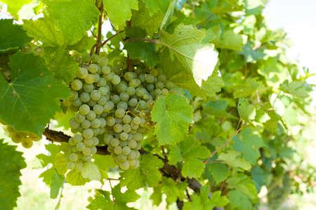 vi�edo: uvas en los vi�edos bajo Palava. regi�n vin�cola del sur de Moravia - Rep�blica Checa
