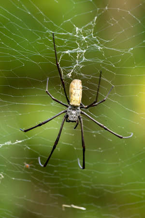 wood spider: Close up of golden orb weaver or giant wood spider or banana spider (Nephila pilipes) on its web in nature, ventral view