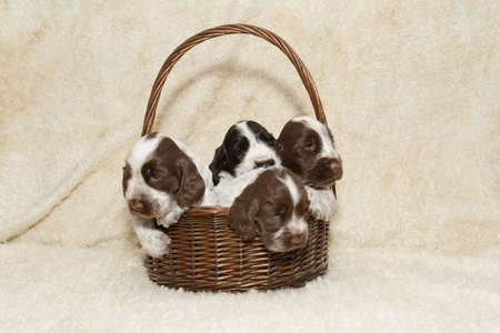 english cocker spaniel: two puppy of brown English Cocker Spaniel in basket Stock Photo