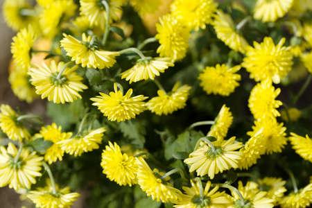 coronarium: Yellow chrysanthemum flowers in autumn garden, vibrant stock photo