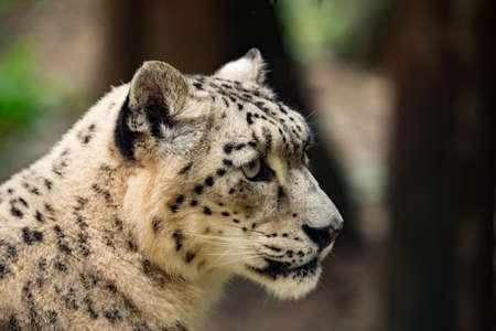 irbis: side portrait of snow leopard, Uncia uncia with shallow focus