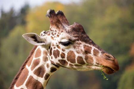 jirafa fondo blanco: Close up foto de joven linda pastoreo jirafa, Giraffa camelopardalis reticulata Foto de archivo