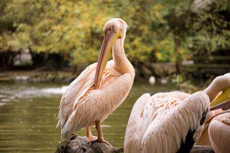 pelecanus: rare Spot-billed pelican, Pelecanus philippensis, cleaning his body
