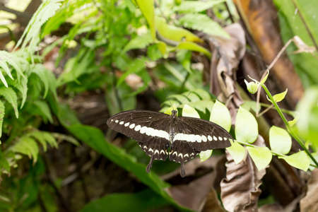 indo: macro of beautiful butterfly on green leaf in garden, Indonesia, Bali, Butterfly park