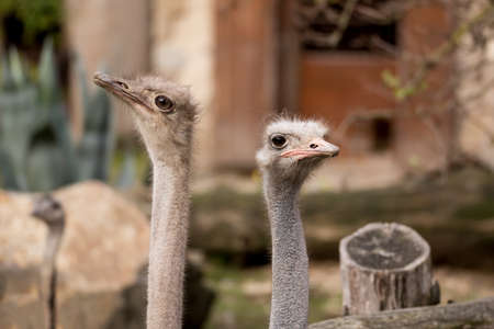 inquiring: close up portrait of Australian Emu (Dromaius novaehollandiae) outdoor Stock Photo
