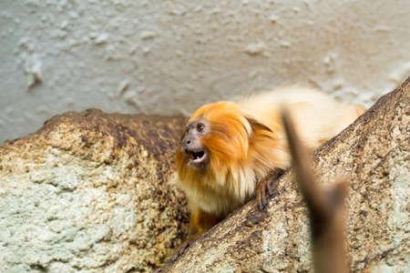 monkies: Golden Lion Tamarin (Leontopithecus rosalia) perched on log close up view Stock Photo