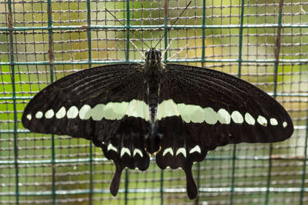 indo: macro of beautiful dark butterfly with white strip in garden, Indonesia, Bali, Butterfly park