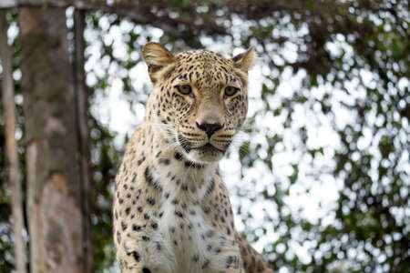 proprietary: head shot of Persian leopard (Panthera pardus saxicolor), known as the Caucasian leopard Stock Photo