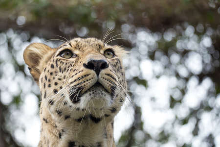 irbis: head shot of Persian leopard (Panthera pardus saxicolor), known as the Caucasian leopard Stock Photo