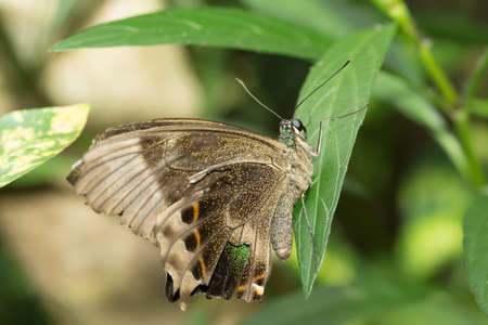 indo: macro of beautiful brown butterfly in garden, Indonesia, Bali, Butterfly park Stock Photo