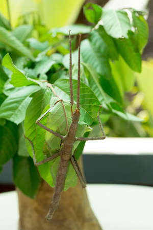 wingless: Close-up of a stick insect (Phasmatodea), Bali, Indonesia