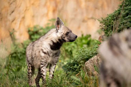 hienas: Hiena rayada (hiena hiena) con cabeza ancha y ojos oscuros