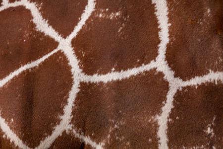 giraffa camelopardalis reticulata: Giraffa texture for background or backdrop. Giraffa camelopardalis reticulata