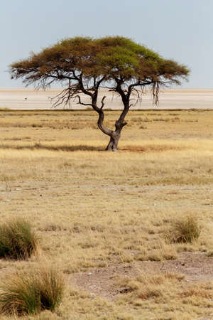 acacia: Typical large Acacia tree in the open savanna plains of East Africa, Etosha, Namibia