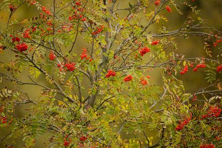 sorbus: Rowan Berries tree (Sorbus aucuparia) against of blue sky