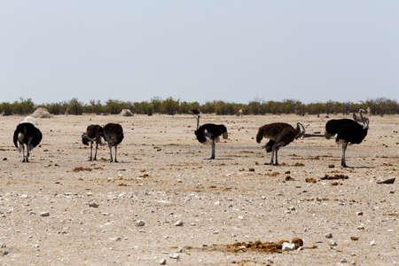 struthio camelus: Ostrich, Struthio camelus in Etosha, Namibia, true wildlife photography Stock Photo