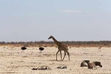 pozo de agua: Giraffa camelopardalis en el pozo de agua en el Parque Nacional de Etosha, Ombika, Kunene, Namibia Foto de archivo
