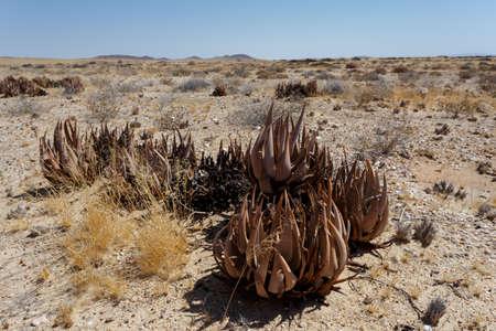 flowering aloe: flowering wild aloe (aloe asperifolia) in the Namibia Erongo desert Stock Photo