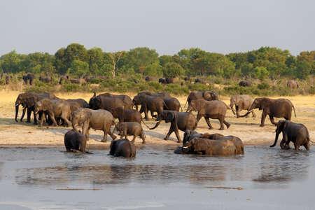 at waterhole: manada de elefantes africanos de beber en una charca fangosa, nacional Parque Hwankee, Botswana. La verdadera vida al aire libre